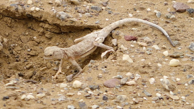 Desert lizard in a hole