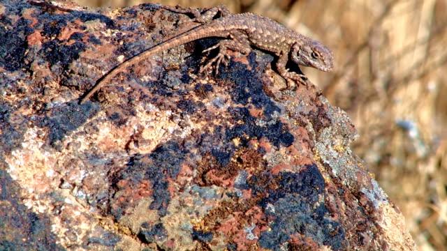 vídeos de stock, filmes e b-roll de desert lizard wildlife 1 painted hills oregon 22 - camuflagem