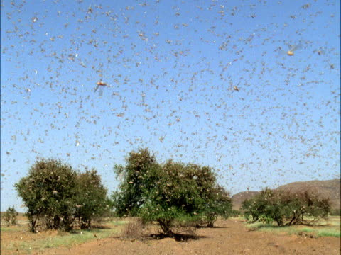 desert locusts (schistocerca gregaria) swarm, mauritania  - swarm of insects stock videos & royalty-free footage