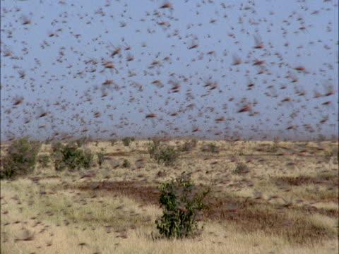 desert locusts (schistocerca gregaria) swarm, mauritania  - モーリタニア点の映像素材/bロール
