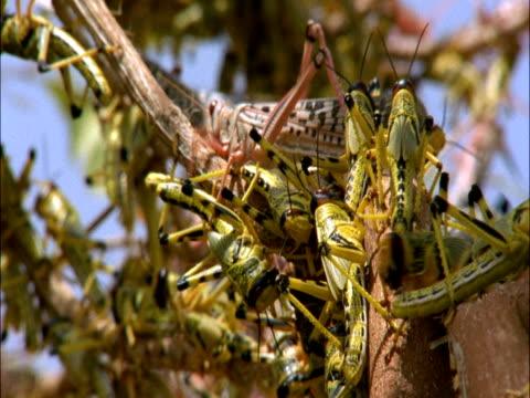 desert locusts (schistocerca gregaria) swarm, mauritania  - skadedjur bildbanksvideor och videomaterial från bakom kulisserna