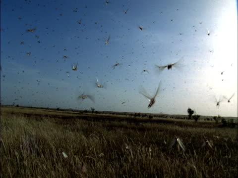 desert locusts (schistocerca gregaria) swarm, mauritania  - 虫の群れ点の映像素材/bロール