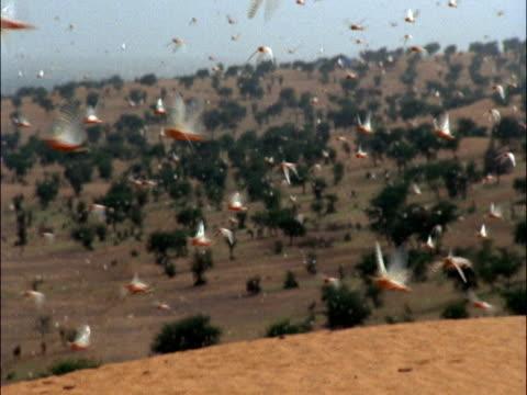 desert locusts (schistocerca gregaria) swarm, mauritania  - mauritania stock videos & royalty-free footage