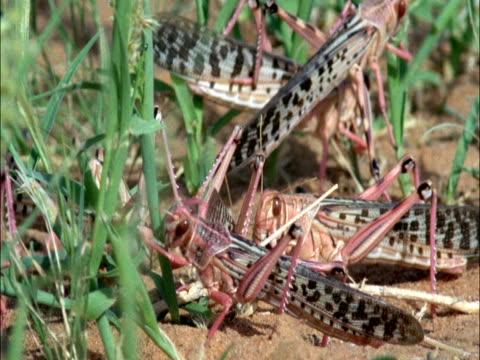vidéos et rushes de desert locusts (schistocerca gregaria) swarm, mauritania  - petit groupe d'animaux