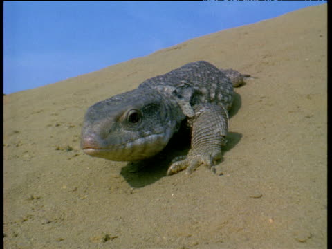 desert monitor lizard crawls along sand towards camera sticking out tongue - lizard stock videos and b-roll footage