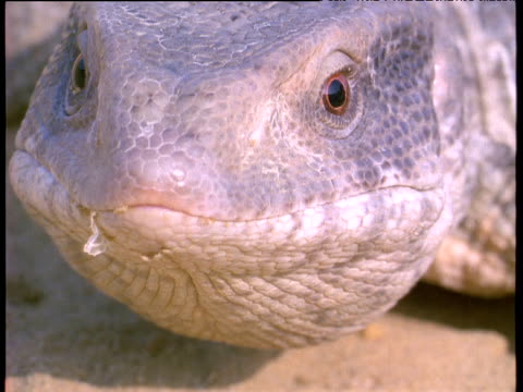 desert monitor lizard stares at camera morocco - lizard stock videos and b-roll footage