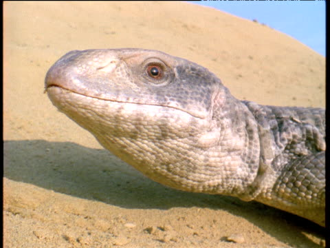 desert monitor lizard turns head towards camera and sticks out tongue - lizard stock videos and b-roll footage