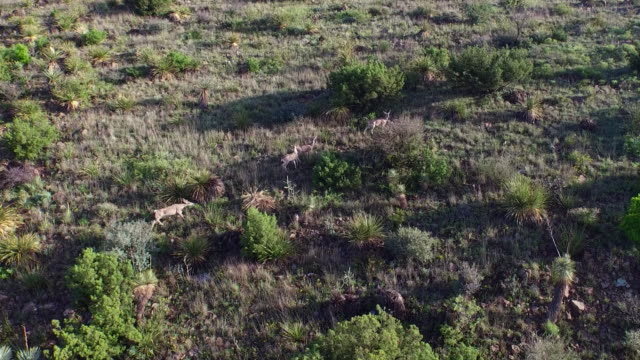 desert mule deer in west texas - mule stock videos & royalty-free footage