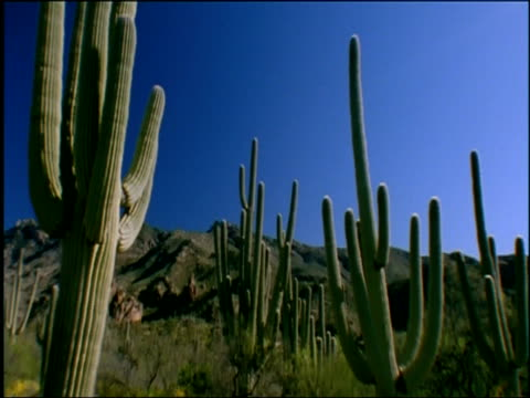 Desert scenic with saguaro cacti, tilt down to yellow brittlebushes amongst rocks, Sonoran desert, USA