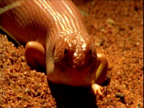 desert skink peers at camera on sand, western australia - sandig stock-videos und b-roll-filmmaterial