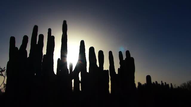 vídeos de stock, filmes e b-roll de desert sunset behind cactus silhouette, low angle - ilhas do oceano atlântico