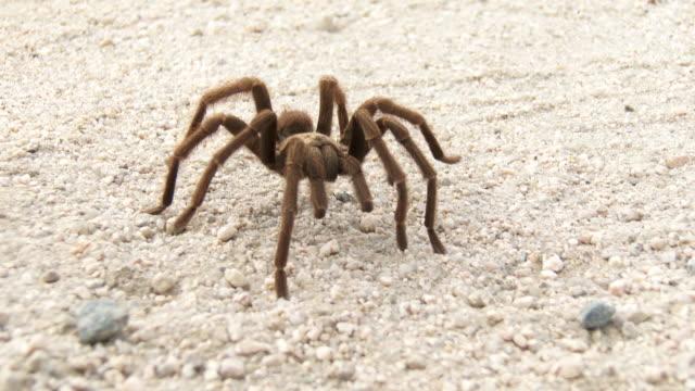 desert tarantula - spider stock videos and b-roll footage