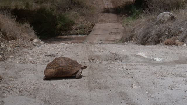 a desert tortoise crosses a dirt road in africa. - langsam stock-videos und b-roll-filmmaterial