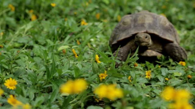 vídeos y material grabado en eventos de stock de tortuga del desierto - dermoquélidos