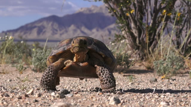 desert tortoise walking forward, joshua tree national park - joshua tree national park stock videos & royalty-free footage