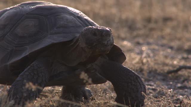 desert tortoise walks across desert, arizona, usa - tortoise stock videos & royalty-free footage