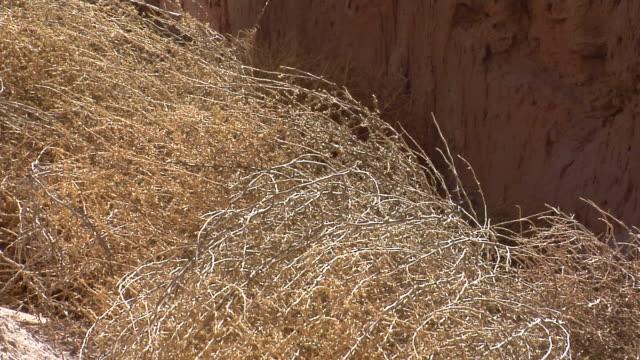 Desert Tumbleweed in a little breeze.