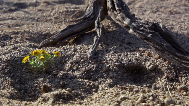 a desert wildflower blooms near a piece of driftwood. - wildflower stock videos & royalty-free footage