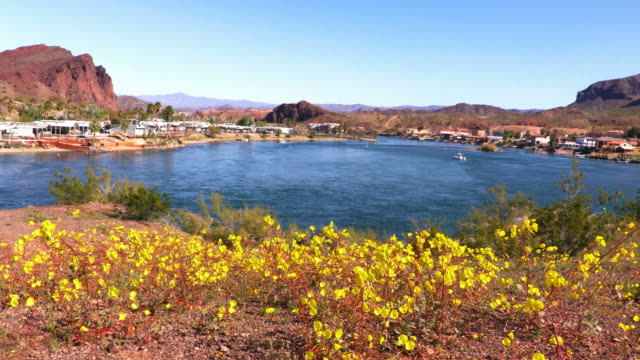 desert wildflowers near lake havasu city - wildflower stock videos & royalty-free footage