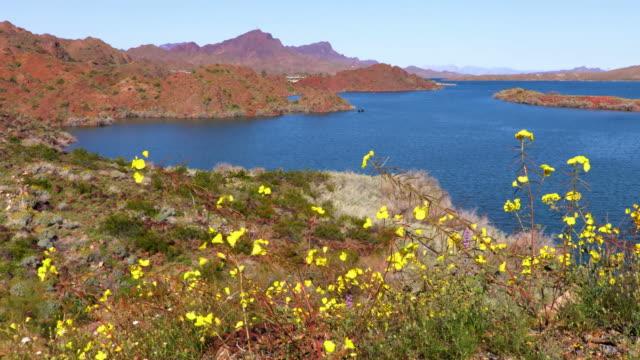 desert wildflowers near lake havasu city - deserto mojave video stock e b–roll