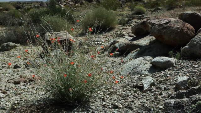 desert wildflowers rustle in a breeze. - wildflower stock videos & royalty-free footage