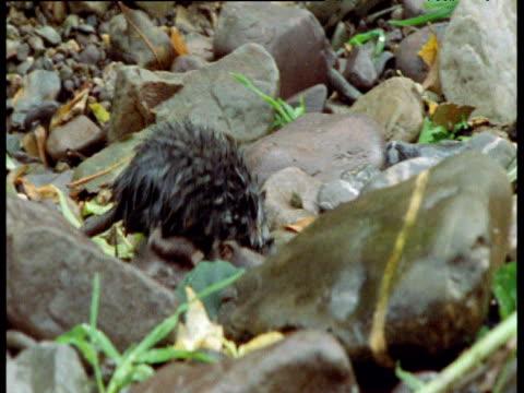 vidéos et rushes de desman forages amongst rocks and water, spain - mammifère aquatique