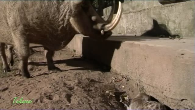 despite this meerkat's smaller size compared to the bigger adult warthog with large tusks, he has no fear reprimanding him for invading his personal... - disney stock videos & royalty-free footage