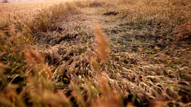 destroyed wheat crop due to heavy rain - damaged stock videos & royalty-free footage
