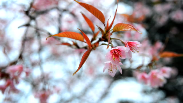 Detail and close view of Sakura tree branches and flowers in spring time.