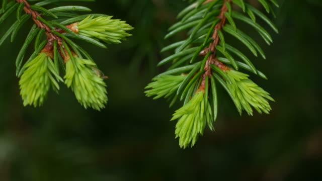 detail of a fir branch - fir tree stock videos and b-roll footage
