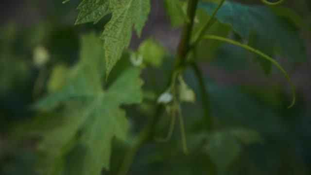 vídeos y material grabado en eventos de stock de detail of a very nice vine's leaf reflecting the sunset light. - hoja de la vid