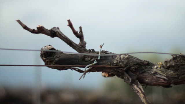 detail of a vine with its branches pruned - imperfection stock videos & royalty-free footage