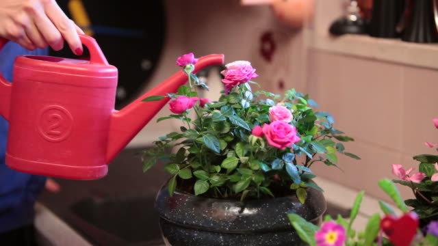 detail of a woman watering her roses bowl - pot plant stock videos and b-roll footage