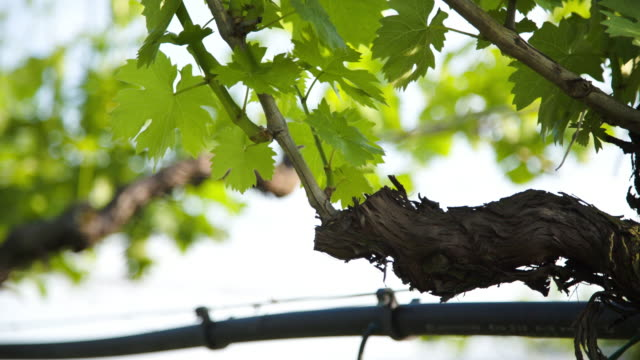 detail of an old vine with green leafs. - grape leaf stock videos and b-roll footage
