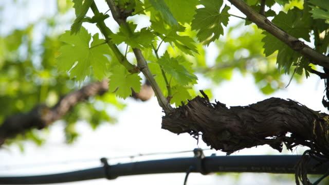 vídeos y material grabado en eventos de stock de detail of an old vine with green leafs. - grape leaf