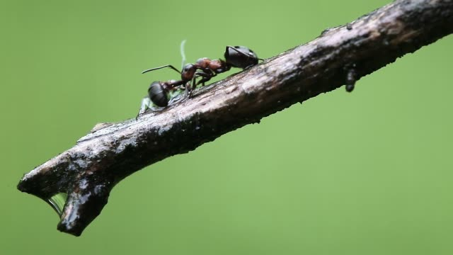 detail of ant (formicidae) - one animal stock videos & royalty-free footage