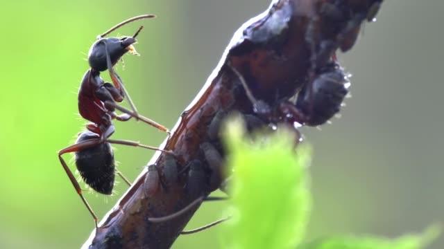 vídeos de stock e filmes b-roll de detail of ant (formicidae) - formiga