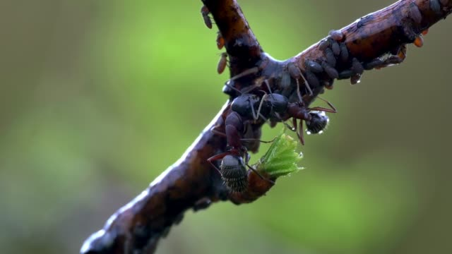 detail of ant (formicidae) - zoology stock videos & royalty-free footage
