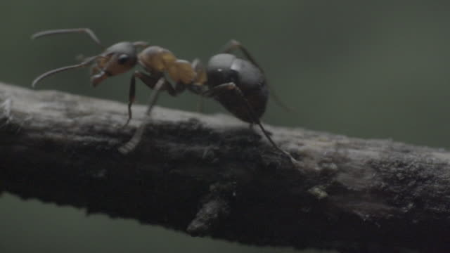 detail of ants (formicidae) on wooden branch - one animal stock videos & royalty-free footage
