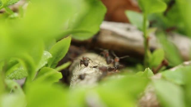vídeos y material grabado en eventos de stock de detalle de las hormigas (formicidae) trabajando - colonia grupo de animales
