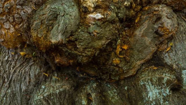 Detail of bark on a chestnut