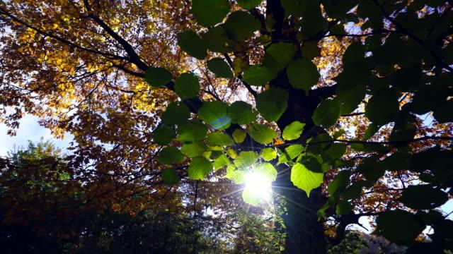 vídeos de stock, filmes e b-roll de detail of beech leaves in forest - faia árvore de folha caduca