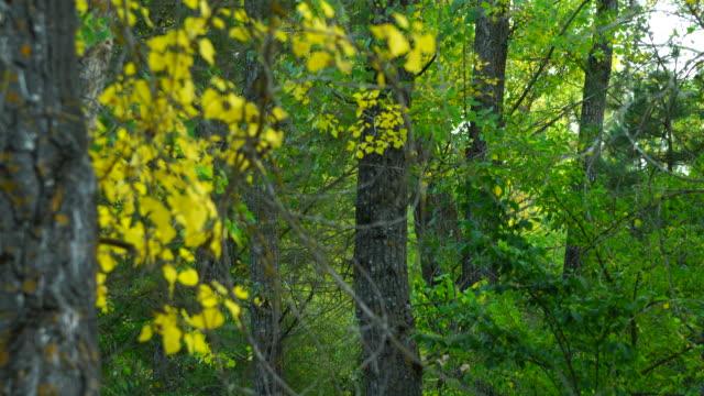 Detail of black poplar in autumn