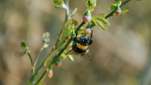 detail of bumble bee (bombus) pollinating flower - bumblebee stock videos & royalty-free footage