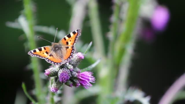 vídeos y material grabado en eventos de stock de detalle de la mariposa (rhopalocera) cruzando el tallo de la planta - mariposa lepidópteros