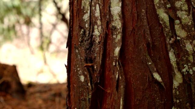 vídeos de stock, filmes e b-roll de detail of cedar tree trunk bark 1 wet rainy cascade mountain oregon forest in spring - casca de árvore