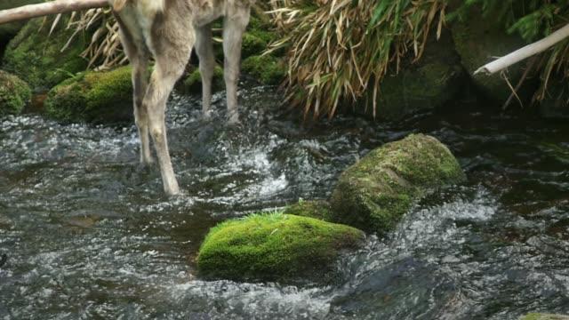 vídeos y material grabado en eventos de stock de detalle de los ciervos (cervidae) - pata de animal pierna