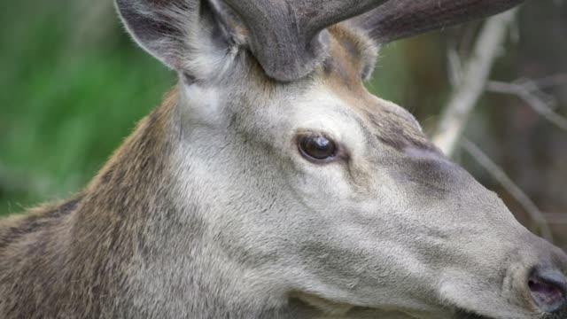 vídeos y material grabado en eventos de stock de detalle de los ciervos (cervidae) - nariz de animal