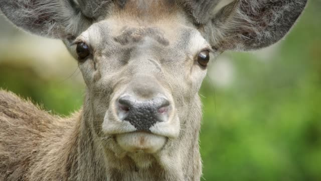 detail of deer (cervidae) - baden wurttemberg stock videos and b-roll footage