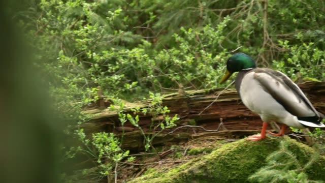 detail of ducks (anas platyrhynchos) - mallard stock videos and b-roll footage